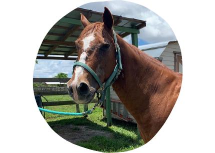 Jackson quarter horse